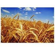 Насіння пшениці Фаворитка (Супереліта)