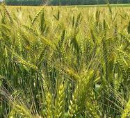 Насіння озимої пшениці Ліра Одеська (Еліта)