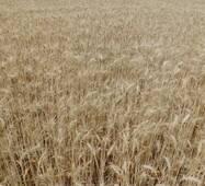 Насіння пшениці Щедрість Одеська (Супереліта)