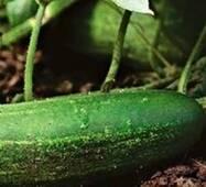 Огурец Засухоустойчивый (ЕОГ-185) за 0,5 г
