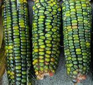 Кукурудза Оахаканська зелена (ЕКК-34) за 5 нас.