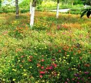 Трава газонная Мавританская