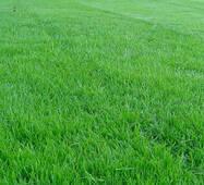 Газонна трава Спортивна (ЕГТ-1) за 50 г