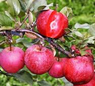 Яблоня красномясая Бая Мариса (ІЯБ-140)