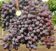 Виноград Киш-миш Юпитер