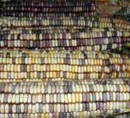 Кукуруза Индийский гигант (ЕКК-33) за 5 сем.