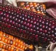 Кукуруза попкорн Шоколадное черри (ЕКК-30) за 5 сем.