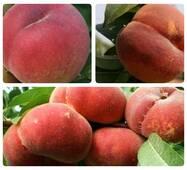 Комплект із 3-х персиків різного терміну дозрівання (ІПС-70)