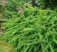 Барбарис Тунберга Зеленый Ковер (ОКН-770) за 0,5-1,5 л