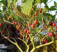 Томатне дерево Тамарільйо