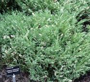 Ялівець горизонтальний Andora variegata (0,5-1,5 л)