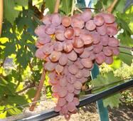 Виноград Румба (0,5-1,5 л)