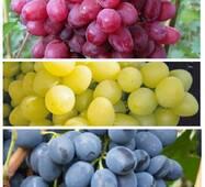 Комплект из 3 сортов винограда