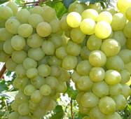 Виноград Антоний Большой  (0,5-1,5 л)