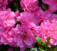 Азалія японська Rosinetta 3 річна , Азалия японская /рододендрон Розинетта, Azalea japonica Rosinetta