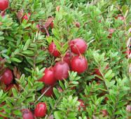 Саджанці журавлини Пілігрим  2 літні пакет 3.5 л