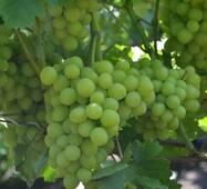 Виноград Нельсон (відкрита коренева система)