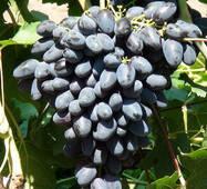 Виноград Атос (відкрита коренева система)