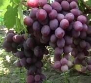 Виноград Еверест