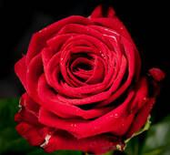 Троянда чайно-гібридна Ред Наоми