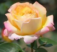 Троянда чайно-гібридна Глорія (Пис)