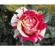 Роза плетистая Ванила Фрайз