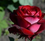 Троянда чайно-гібридна Госпел