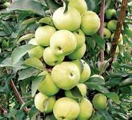 Яблоня колоновидная Медок (ІЯБ-82)