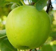 Саджанці яблуні сорт Мутсу