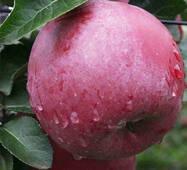 Саженцы зимней яблони Энтерпрайз