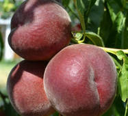 Саджанці персика сорт Роял Маджестик