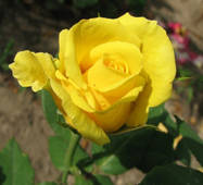 Чайно-гібридна троянда сорт Папилон (Papillon)