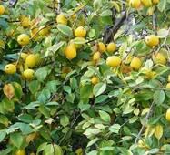 Саджанці айви сорт Лимонна