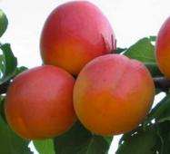 Саджанці абрикоси сорт Фардао