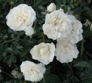 Грунтопокривна троянда Свани (Swany)