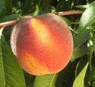Персик сорт PF 13 Елоу Питч (средне-поздний)
