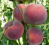 Саджанці персика сорт Роял Гри