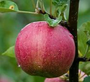 Саженцы яблони сорт Джонатан