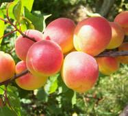 Саджанці абрикоси сорт Харостар