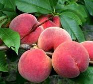 Саджанці персика сорт Манон