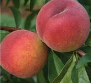 Персик сорт PF 23