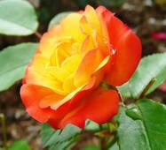 Саджанці плетистої троянди сорт Румба