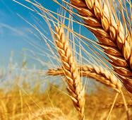 Пшениця 1 класу