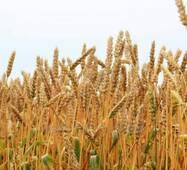 Пшениця 3 класу