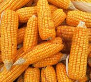 Кукурудза оптом