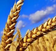 Пшениця 2 класу