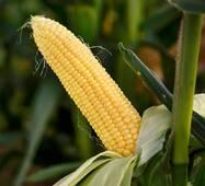 Кукуруза сахарная Сладкая мечта (ЕКК-46А) в 200 сем.