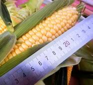 Кукуруза сахарная Византия (ЕКК-36А) за 200 сем.