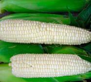 Кукуруза сахарная Белый кролик (ЕКК-47А) в 200 сем