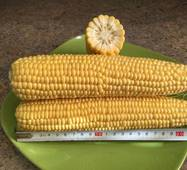 Кукурудза цукрова Ларус F1 (ЕКК-22А) за 200 нас.